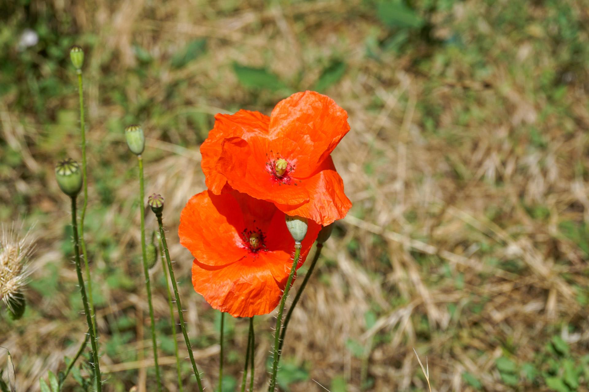 Flor del Clot del Cirer