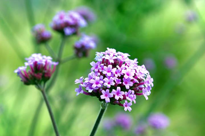 La hierba llamada Verbena